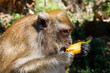 Detail on head of long-tailed macaque monkey (Macaca fascicularis) eating a banana from tourist. Khao Sok, Thailand