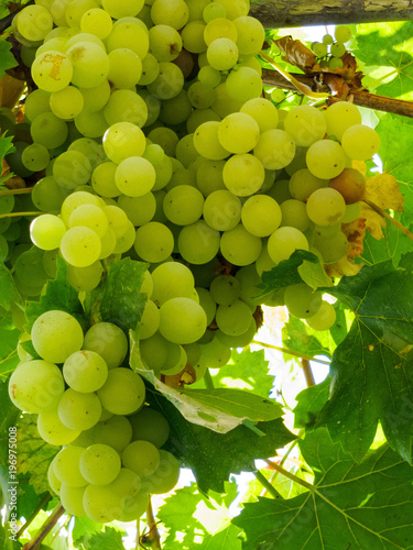 White grapes hanging from lush green vine