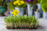 Easter decoration of cress and spring flowers