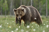Adult male bear serious look - 196980644