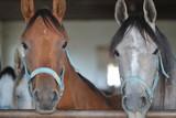 Portret dwóch głów koni czystej krwi arabskiej, w stajni, jeden koń maści ksztanowatej, drugi siwy, patrzą wprost do obiektywu, w tle, nieostre, wnętrze stajni i inne konie