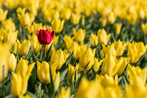 A single red tulip in a field full of yellow tulips