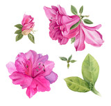 Watercolor flowers. Bright pink azaleas. - 197002474