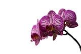 Fototapety pinkfarbene Orchidee vor weißem Hintergrund
