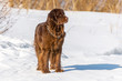 Newfoundland brown dog looking around in winter sunny day.