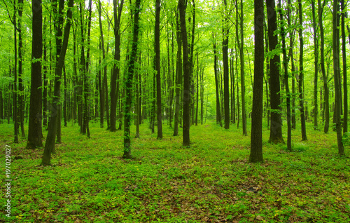 Fototapeta green forest in spring