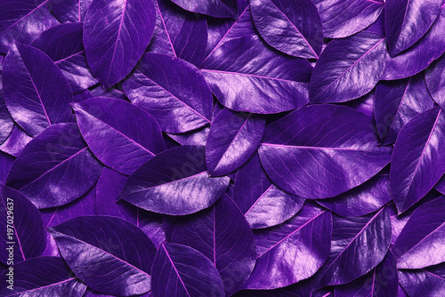 Ultra Violet  leaves. - 197029637