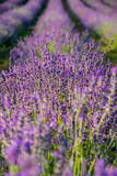 Purple Levander Fields