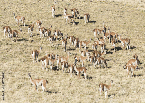 Aluminium Fyle Large herd of wild guanaco lamas in pampas of Tierra del Fuego