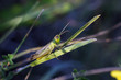 Small green locust sits on grass in field