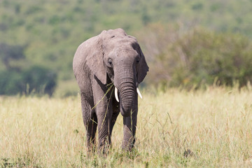 Elephant walking and eating grass