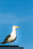 Seagull and blue sky - 197052281