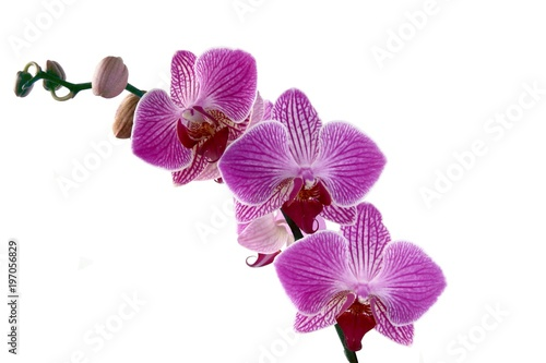 pretty orchid phalaenopsis isolated close up - 197056829