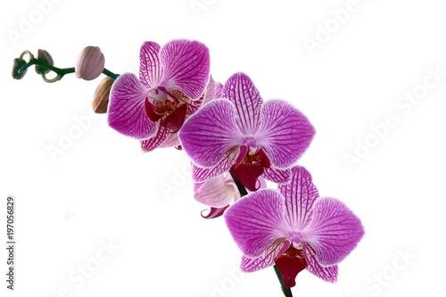śliczny storczykowy phalaenopsis odizolowywał zamknięty up