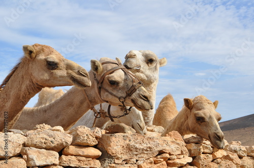 Fotobehang Kameel Four camels standing behind a wall of stone on Fuerteventura, Canary Isles, Spain.