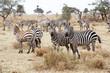 Zebra Herd in Africa