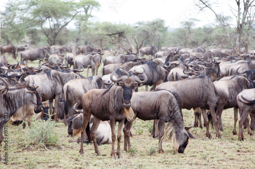 Wall mural Great Wildebeest Herd, one look at the camera