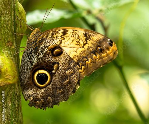 Motyl - motyl oka