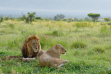 Two african lions gazing into the distant, african savannah, landscape