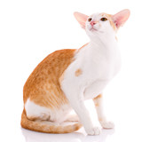 Red kitten peterbald oriental cat - 197070431