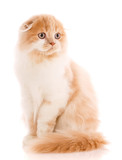 Adorable Scottish Fold cat isolated on white background