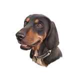 Portrait of Dachshund. Handsome Hunting Dog isolated on white background. Animal collection. Hand painted illustration. Good for print T-shirt, cover, banner, card. Art background. Design template