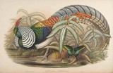 Lady Amherst's Pheasant J. Gould