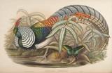 Lady Amherst's Pheasant J. Gould