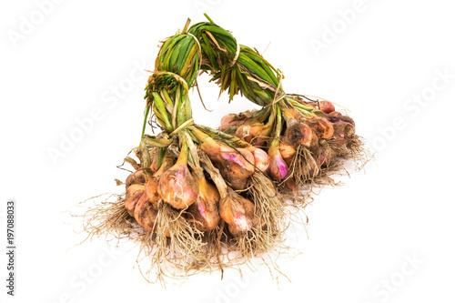 Zwiebel nach der Ernte