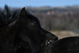 Icelandic black stallion biting coat off
