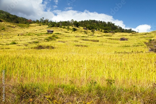 rice or paddy fields in Nepal Himalayas