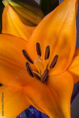 Fototapeta Lily flower