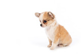 Chihuahua puppy, 45 day, isolated on white white background.