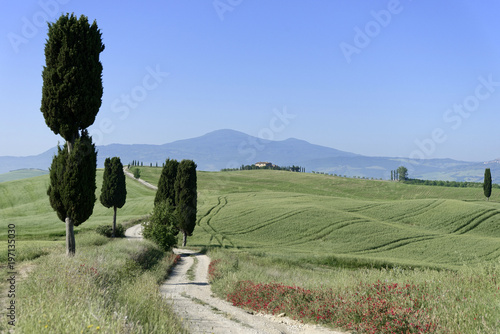 In de dag Olijf Zypressen ( Cuppressus ) und Felder bei Terrapille, Pienza, Val´d Orcia, Toskana, Italien, Europa