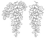 Vector branch of outline white false Acacia or black Locust or Robinia flower, bud and leaves in black isolated on white background. Blooming Acacia in contour for spring design or coloring book. - 197147099