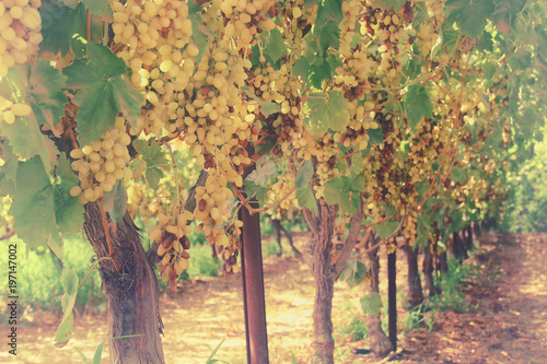 Vineyard landscape with ripe grapes at sunlight. - 197147002