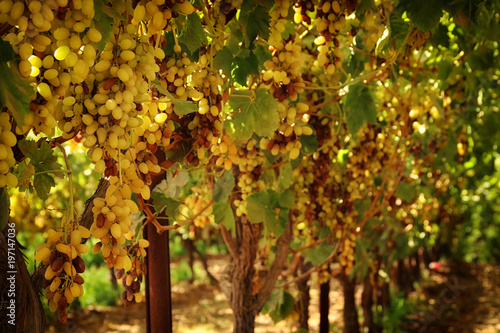 Vineyard landscape with ripe grapes at sunlight. - 197147036