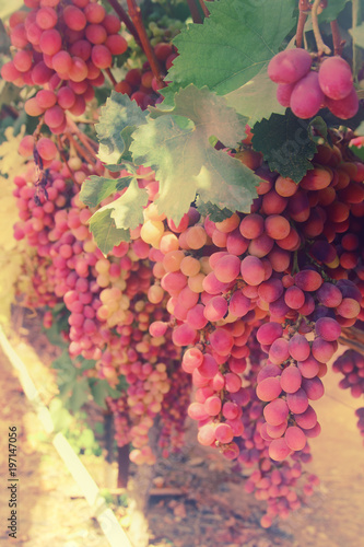 Vineyard landscape with ripe grapes at sunlight. - 197147056