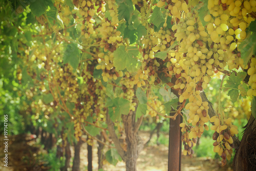 Vineyard landscape with ripe grapes at sunlight. - 197147065