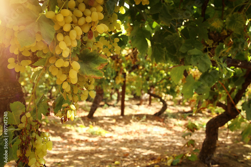 Vineyard landscape with ripe grapes at sun light. - 197147240
