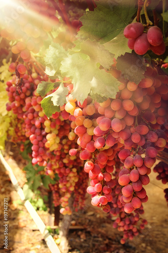 Vineyard landscape with ripe grapes at sunlight. - 197147271