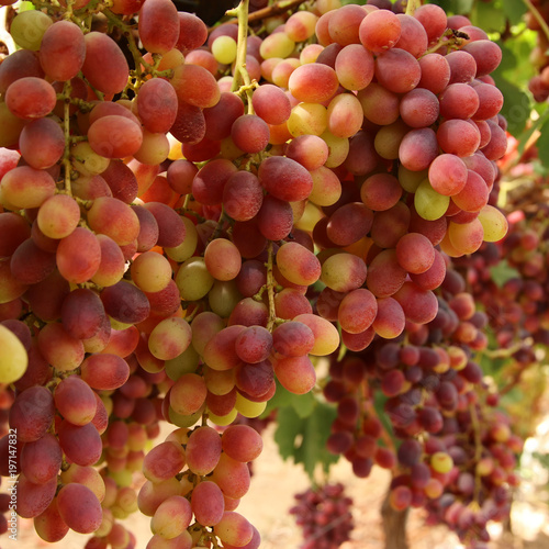 Vineyard landscape with ripe grapes at sunlight. - 197147832