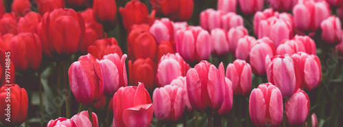 Fototapeta Multicolored tulips field in the Netherlands