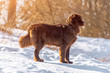 Newfoundland brown dog stand looking around in winter sunny day.