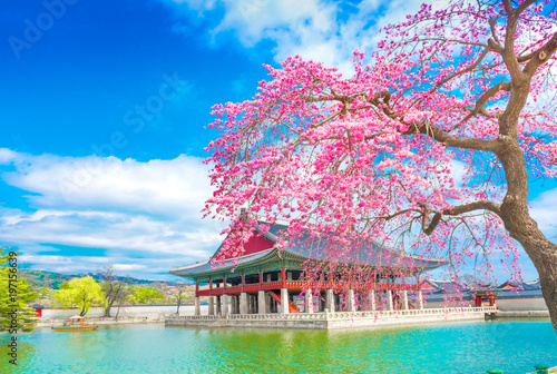 Foto op Plexiglas Seoel gyeongbokgung palace with cherry blossom tree in spring time in seoul , south korea.