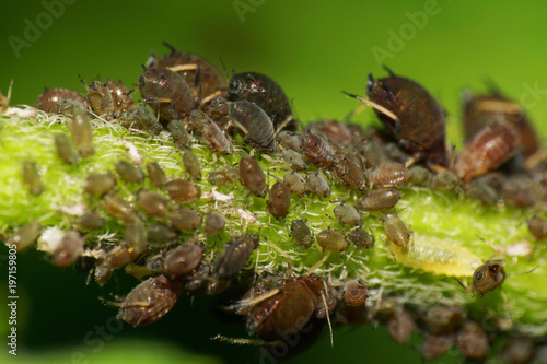 Macro colonies of caucasian small and large aphids on stem and leaf