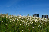 Field of daisies in an urban environment