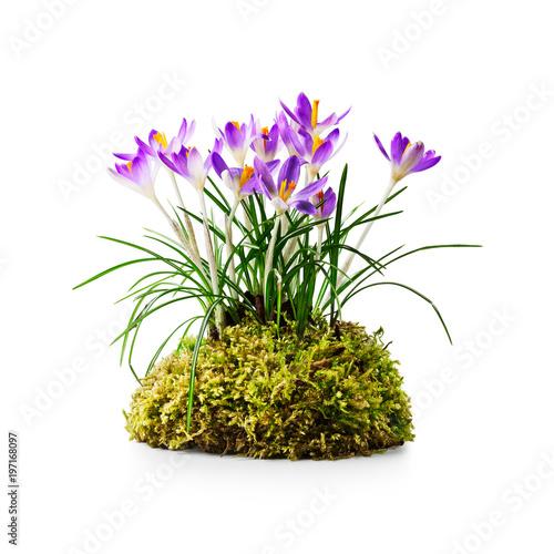 Crocus spring flower - 197168097