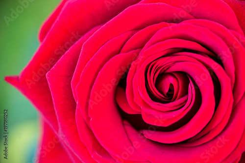 Macro of red rose in a garden, top view