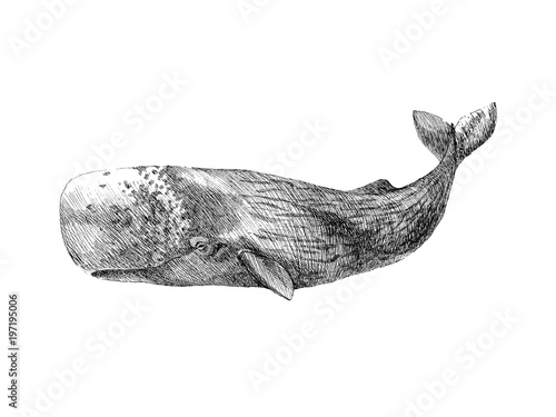 Graphical hand painted whale isolated on white background. Vector illustration. Sperm whale and humpback whale - 197195006